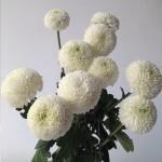 Pingpong White