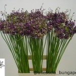 Allium Art