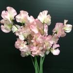 lathyrus-odoratus-coral-pink