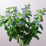 oxypetalum-pure-blue-1