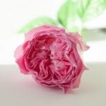 rosa-kohalu-1
