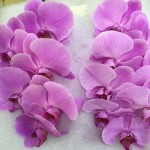 Phalaenopsis Colour