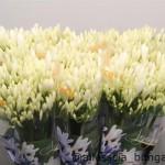 Agaphanthus Bianca Perla