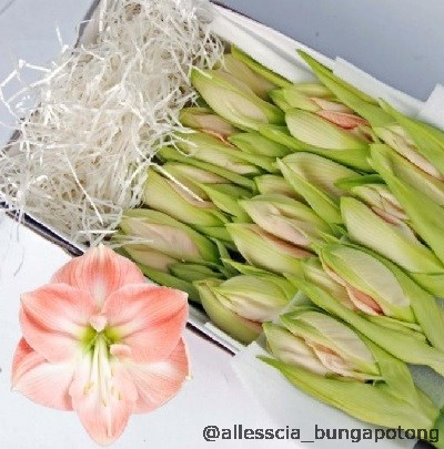 Beragam bunga import yang tersedia dengan kualitas terbaik for Amaryllis gel