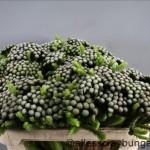 Brunia Albiflora Berry