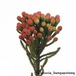Brunia Alopecuroides