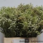 Brunia Nodiflora