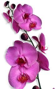 bunga-anggre