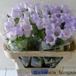Campanula Champion Lavender