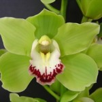 Cymbidium Alice Green