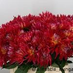 Dahlia Cactus Cerise Rose