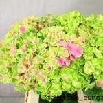 Hydrangea Amethyst