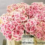 Hydrangea Harljekin red