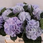 Hydrangea lollypop Blue