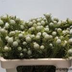 Leucadendron Loranthifoli