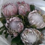 Protea Cynaroides King