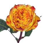 Rose import dari ecuador juga telah hadir di Indonesia, dengan kepala bunga yang besar dan batang yang kuat.