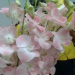 Dendrobium Soft Pink