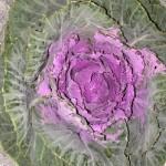 Brassica Purple