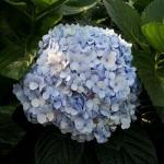 Hydrangea Blue Local