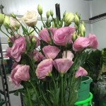 Lysianthus Pink