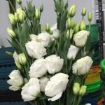 Lysianthus White