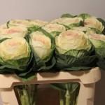Brassica BiColour