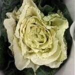 Brassica White