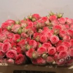 Rose Spray Fabiola