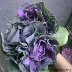 Brassica purplr