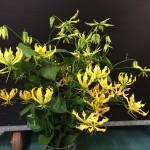 gloriosa-mascot-yellow