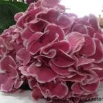 Hydrangea Harlejkin Red