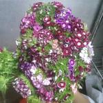 Dianthus Sweet William