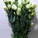 Eustoma Green