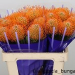 Leucospermum Orange