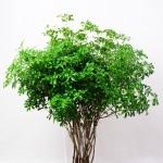 pieris-japonica-subsp-japon