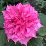rosa-hirari-2-yagi