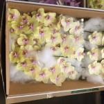 Phalaenopsis Colour