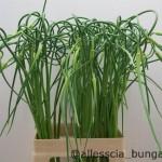 Allium Sative Opioschorodon
