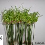 Allium Dready