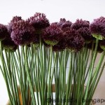 Allium Forelock