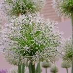 Allium Jesdianum White Impress