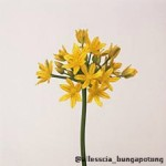 Allium Molly Jennine