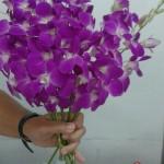 Dendrobium Purple