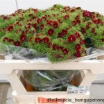 Dianthus Barbathus Queen