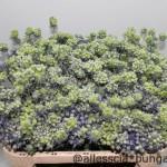 Eryngium Planum Magical Purple
