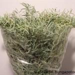 Eucalyptus Nichollia