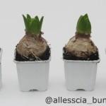 Hyacinth in Pot