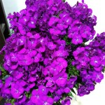 Sweet William Purple