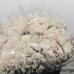 Rice Flower White